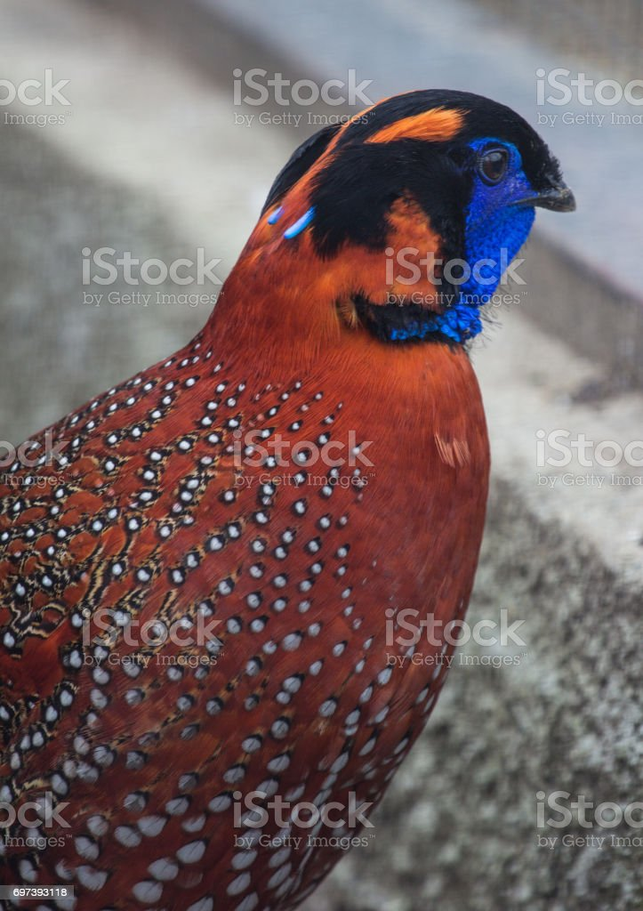 Close-up side view of the tragopan - asian bird of phasianidae family stock photo