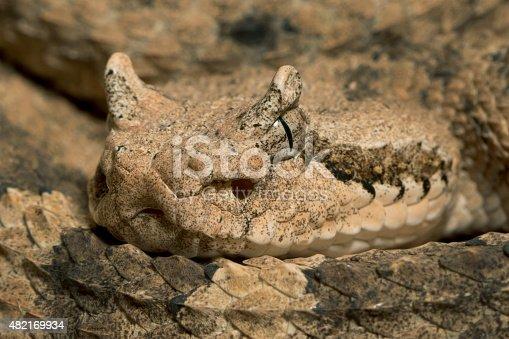 Sidewinder Rattlesnake (Crotalus cerastes) - Venomous Snake