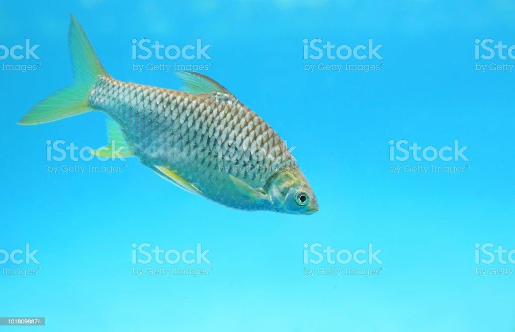Close-up Silver barb swimming in aquarium. stock photo