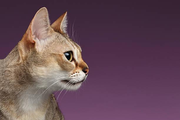 Closeup singapura cat profile view on purple picture id506347298?b=1&k=6&m=506347298&s=612x612&w=0&h=6duae4nf7ju5 wdlk4mceeubmuucrfyfcl4adgld0cy=