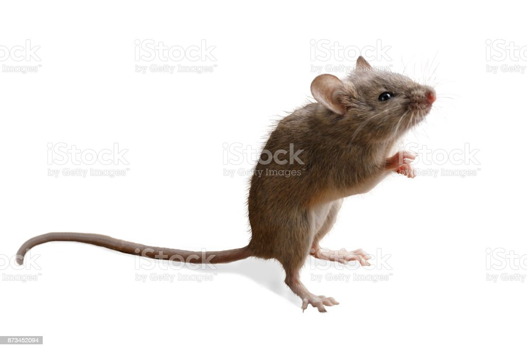 closeup small mouse  stands on its hind legs isolated on white background stock photo