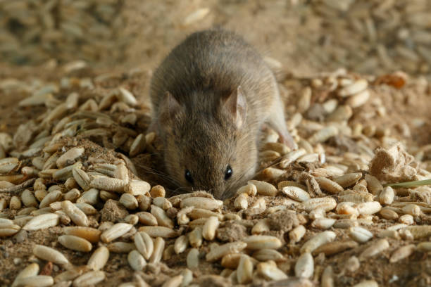 Closeup small  vole mouse digs a hole into grain in warehouse and looks at camera. Concept of fighting with rodents. stock photo