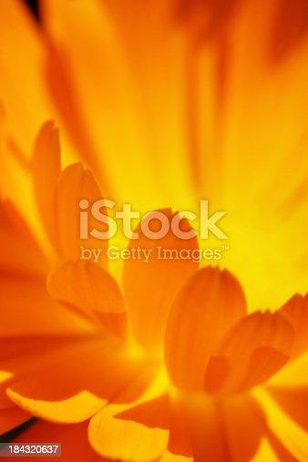Macro shot of a calendula flower