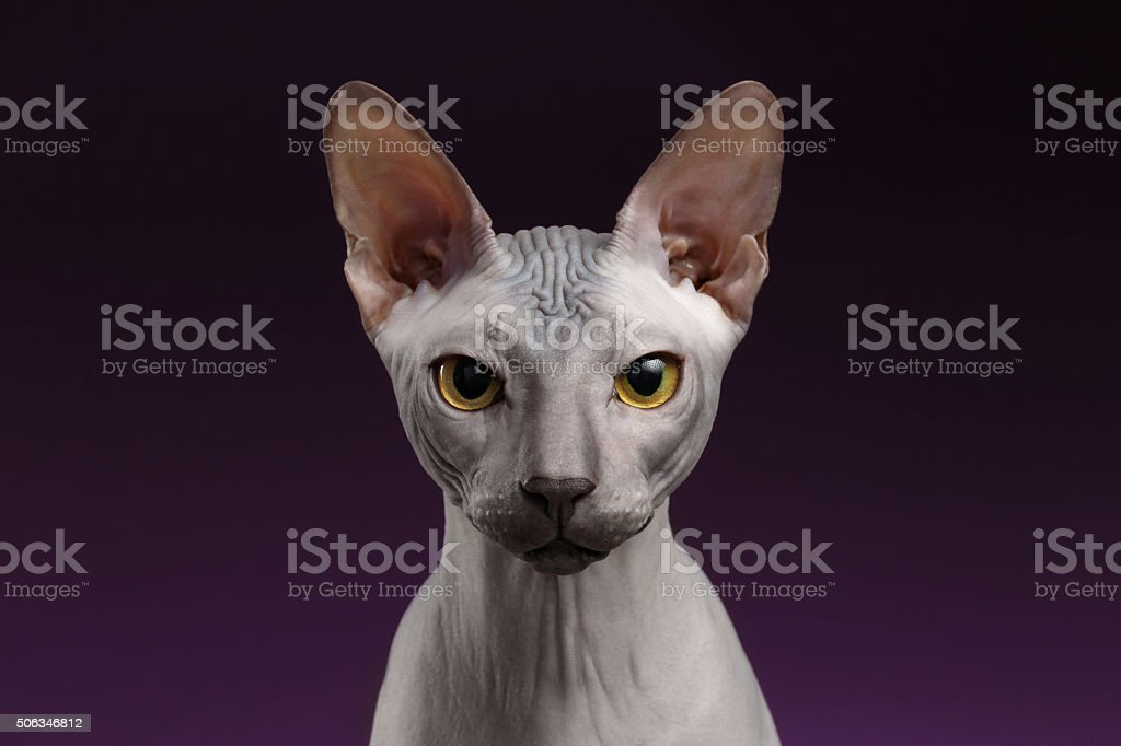 Closeup Sphynx Cat Looking in camera on purple stock photo