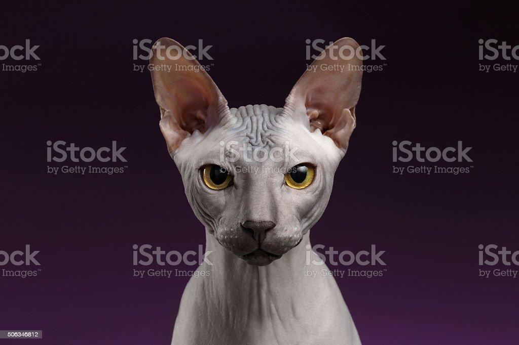Em Closeup Sphynx gato olhando para câmera em roxo - foto de acervo