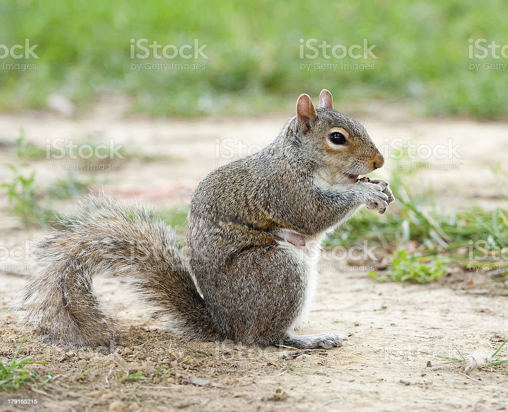 Close-up squirrel royalty-free stock photo