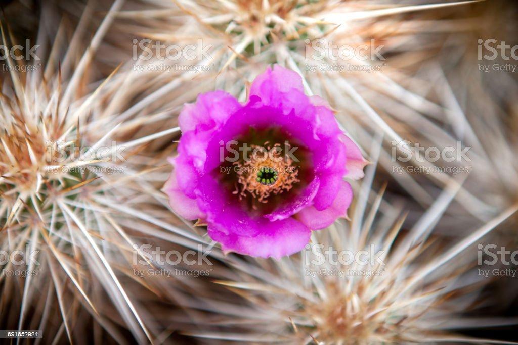 Close-up, Strawberry Hedgehog Cactus Flower, Anza-Borrego Desert State Park stock photo