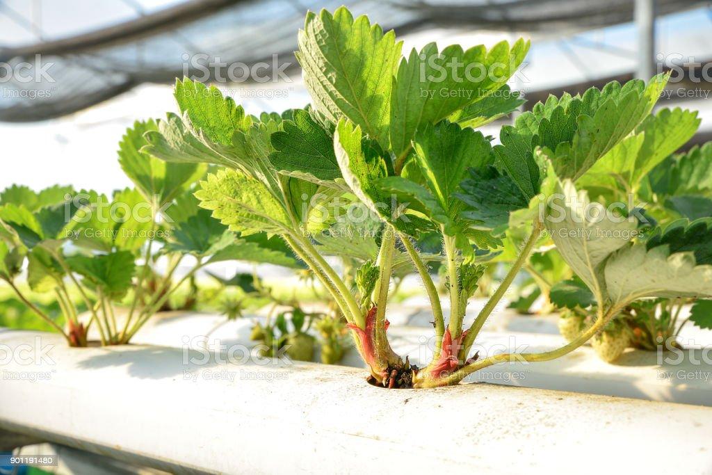 Close-up strawberry hydroponic farm stock photo