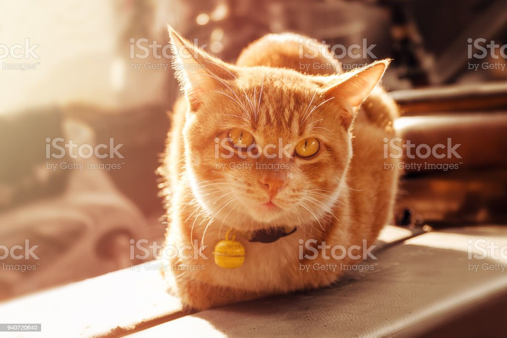 Close-up street orange cat with a collar lit by the sun looks into the camera. stock photo
