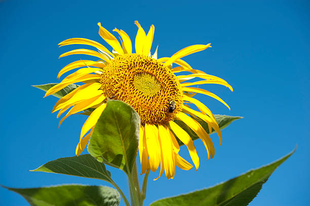 Close-up sunflower stock photo
