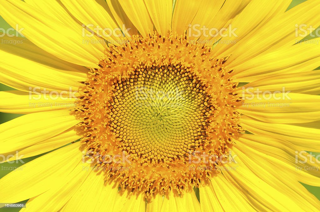 Close-up sunflower royalty-free stock photo
