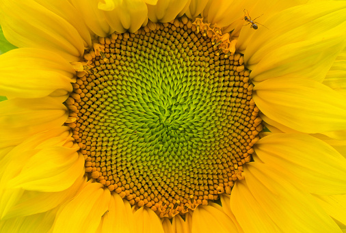 Natural background - closeup sunflower picture.