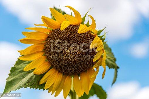 Close-up sunflower field in Turkey.