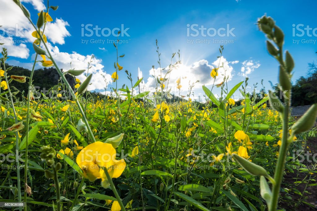 Close-up Sunn hemp, Chanvre indien, Crotalaria juncea yellow blossom in field with sunlight stock photo
