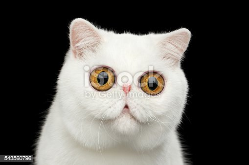 istock Close-up surprised Pure White Exotic Cat Head Isolated Black Background 543560796
