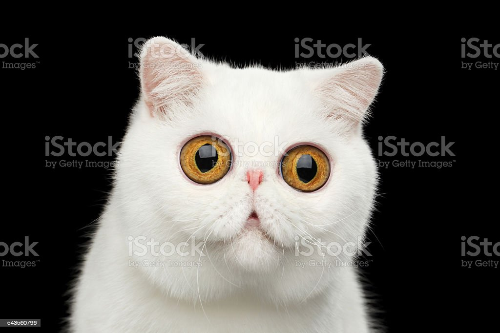 Close-up surprised Pure White Exotic Cat Head Isolated Black Background - foto de acervo