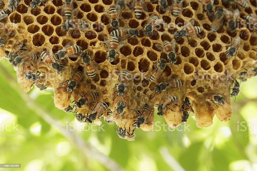 Closeup swarm of honeycomb on tree. stock photo