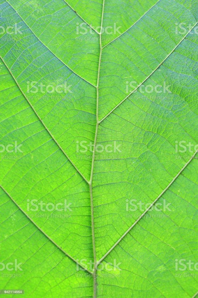 Teakbaum blatt  Closeup Teak Blatt Textur Hintergrund Stock-Fotografie und mehr ...