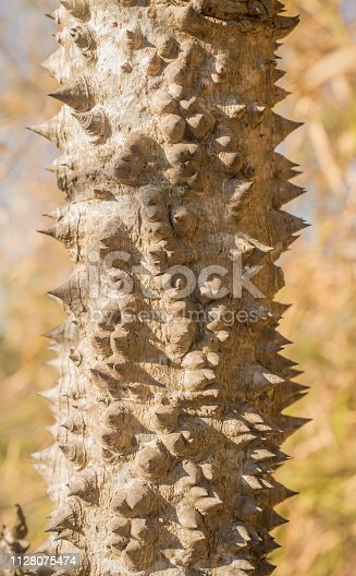 Closeup textured and surface of the trunk of Bombax ceiba