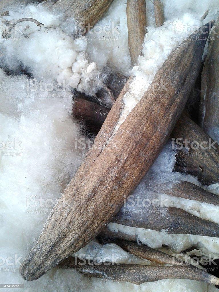 Closeup the Ceiba pentandra stock photo