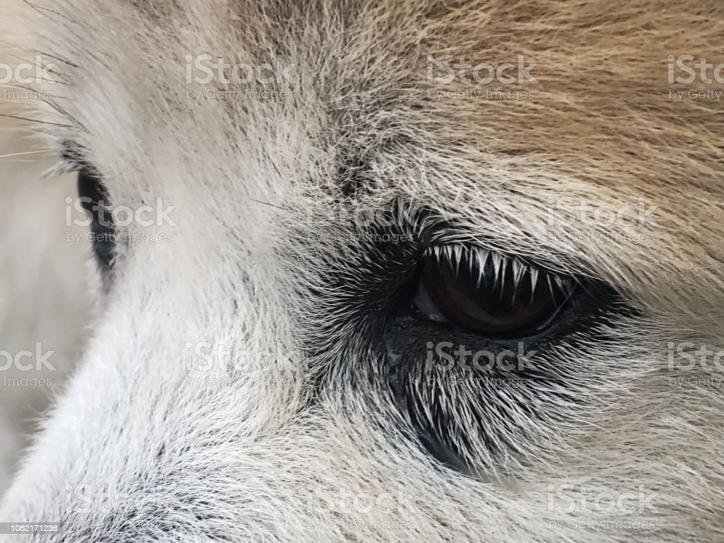Closeup the dog]s eye with probllem,show tears in dog,when contact...