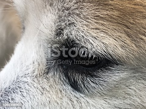 Closeup the dog]s eye with probllem,show tears in dog,when contact with sunlight and dust,look like always crying,the disease of aged dog