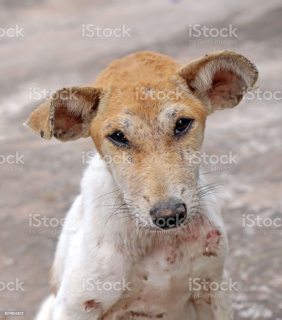 closeup the face of street dog in the temple stock photo