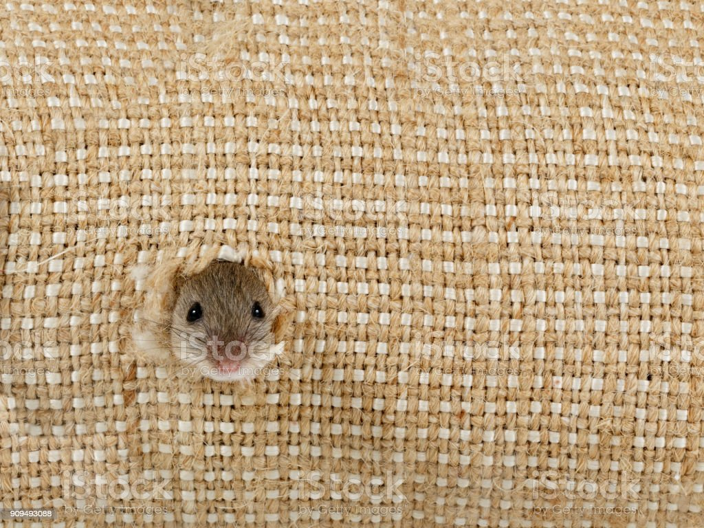 closeup the head of the field mouse (Apodemus agrarius) peeps from the hole in the linen sack and looking at camera stock photo