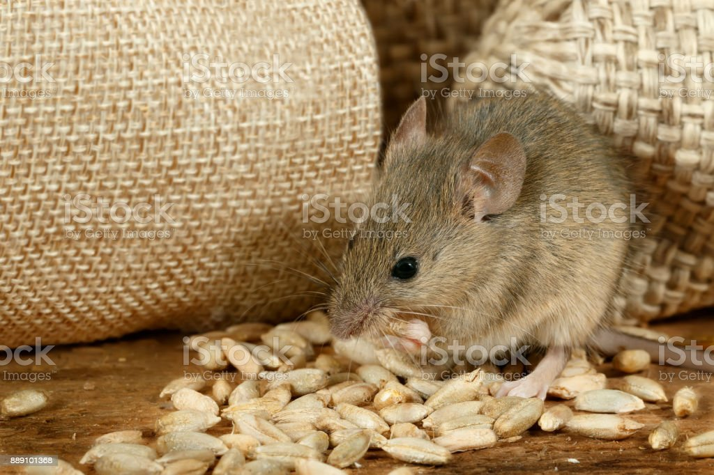 closeup the mouse eats the grain near the burlap bags on the floor of the pantry stock photo
