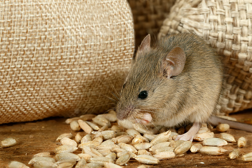 Closeup The Mouse Eats The Grain Near The Burlap Bags On The Floor Of The Pantry Stock Photo - Download Image Now