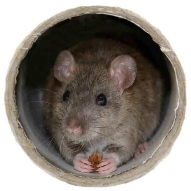 Close-up de rat eet rusk binnen de pijp. Geïsoleerd op wit. foto