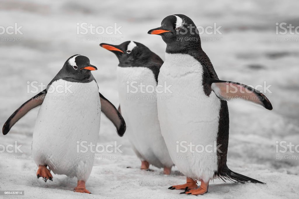 Close-up three penguins . Antarctic mountains royalty-free stock photo