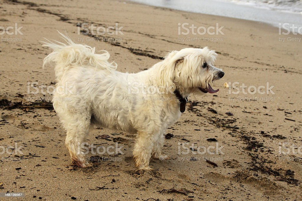 Close-up Tired Maltese Dog on Beach royalty-free stock photo