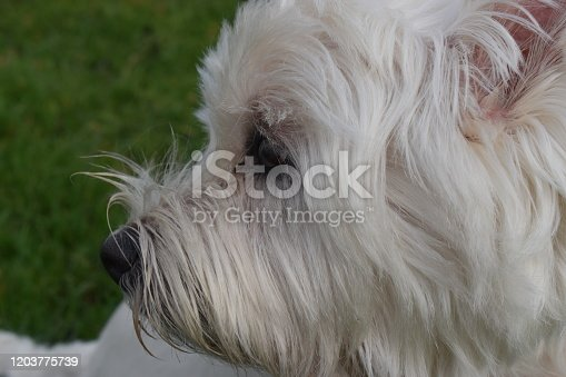 close-up to a head of a cute dog in white color of westie dog lying down on the floor