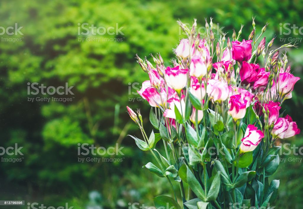 Closeup to beautiful pink and white lisianthus (tulip gentian). stock photo