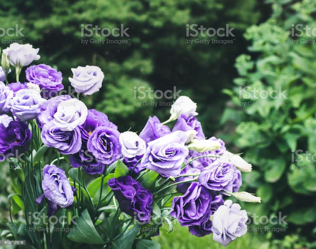 Closeup to beautiful purple and white lisianthus eustoma bouquet flower plant vase russia closeup to beautiful purple and white lisianthus altavistaventures Choice Image