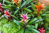 Closeup to Colorful Bromeliad/ Livingvase/ Urn Plant/ Aechmea Fasciata/ BROMELIACEAE