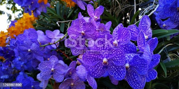 Closeup to purple orchid in garden