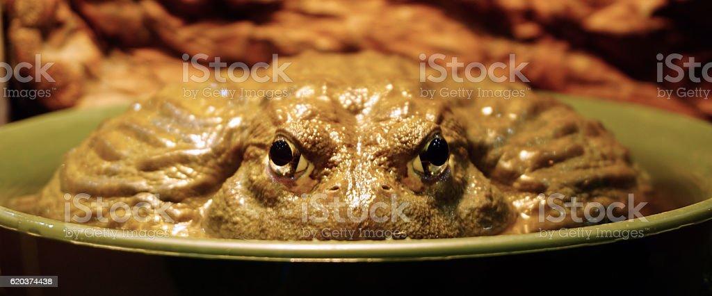 Closeup toad in bowl zbiór zdjęć royalty-free