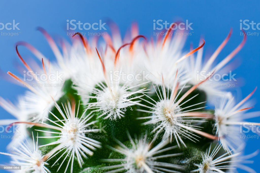 Close-up top part of elegant Echinocereus cactus with white thorns on blue background. stock photo