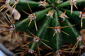 Close-up top shot on a cactus cluster. Famous species of cacti endemic to east-central Mexico are widely cultivated as an ornamental plant. Horizontal orientation.