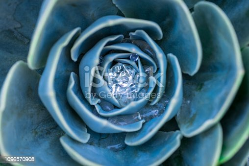 Beautiful abstract photograph of a colorful succulent growing outdoors after being watered