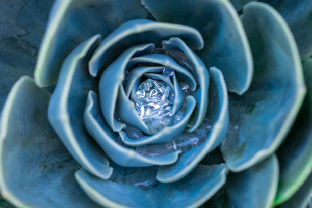 Close-up top view of a beautiful blue echeveria succulent with water drops in the center stock photo