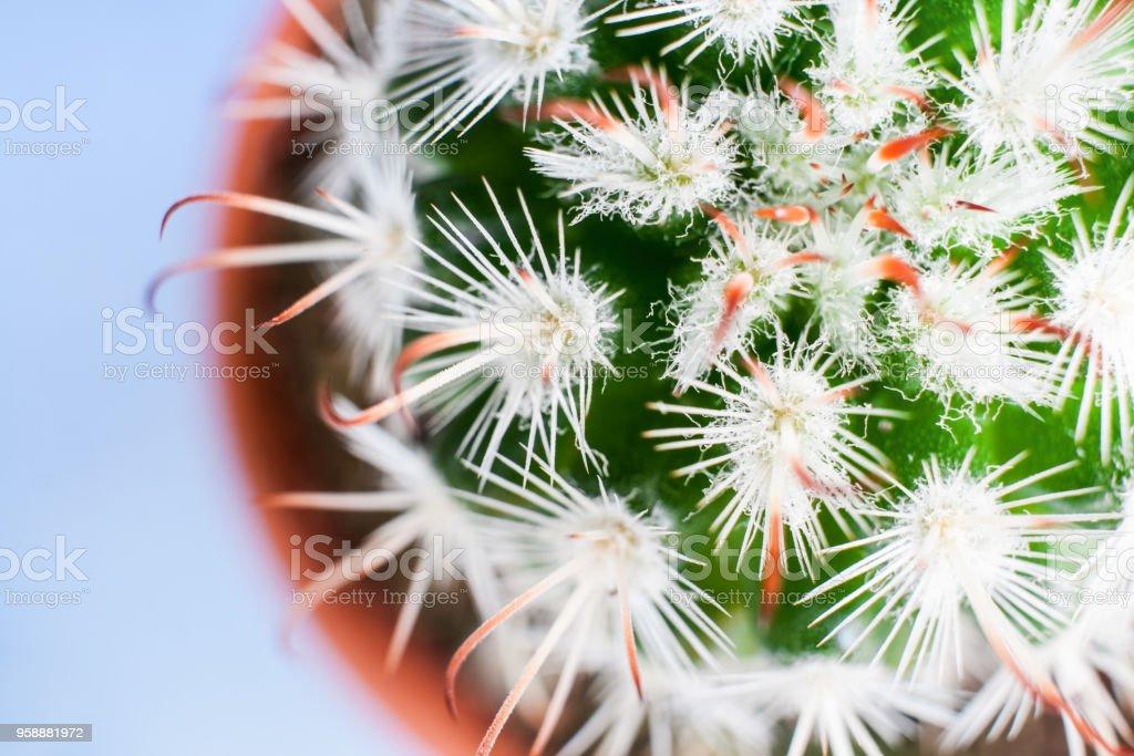 Close-up top view of part of exquisite Echinocereus cactus. stock photo