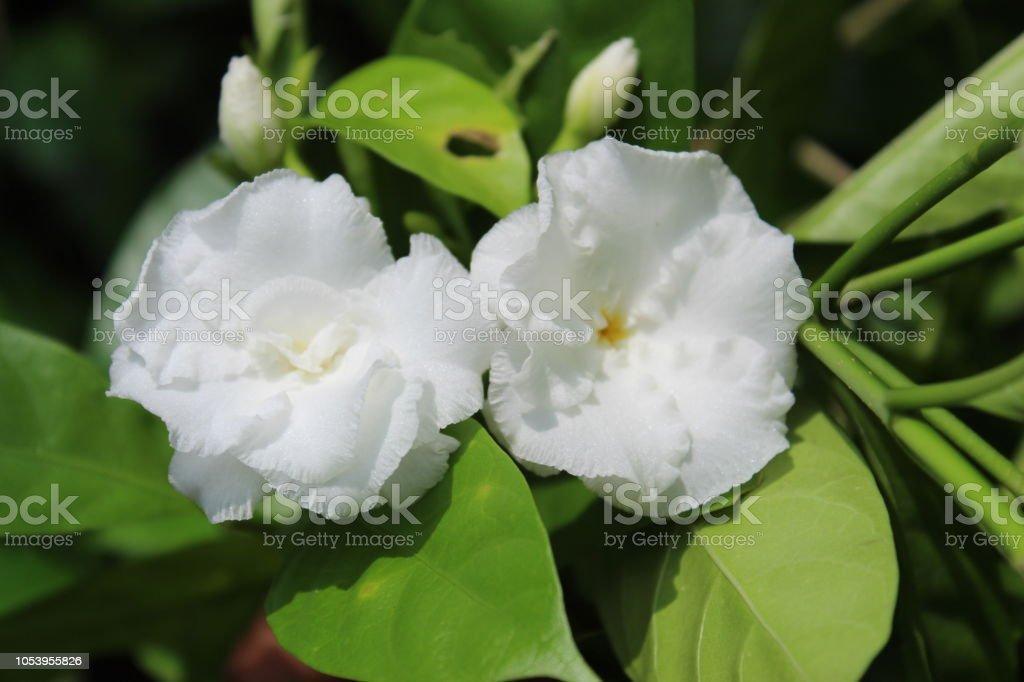 closeup tropical flower plants of Gardenia jasminoides blossom...