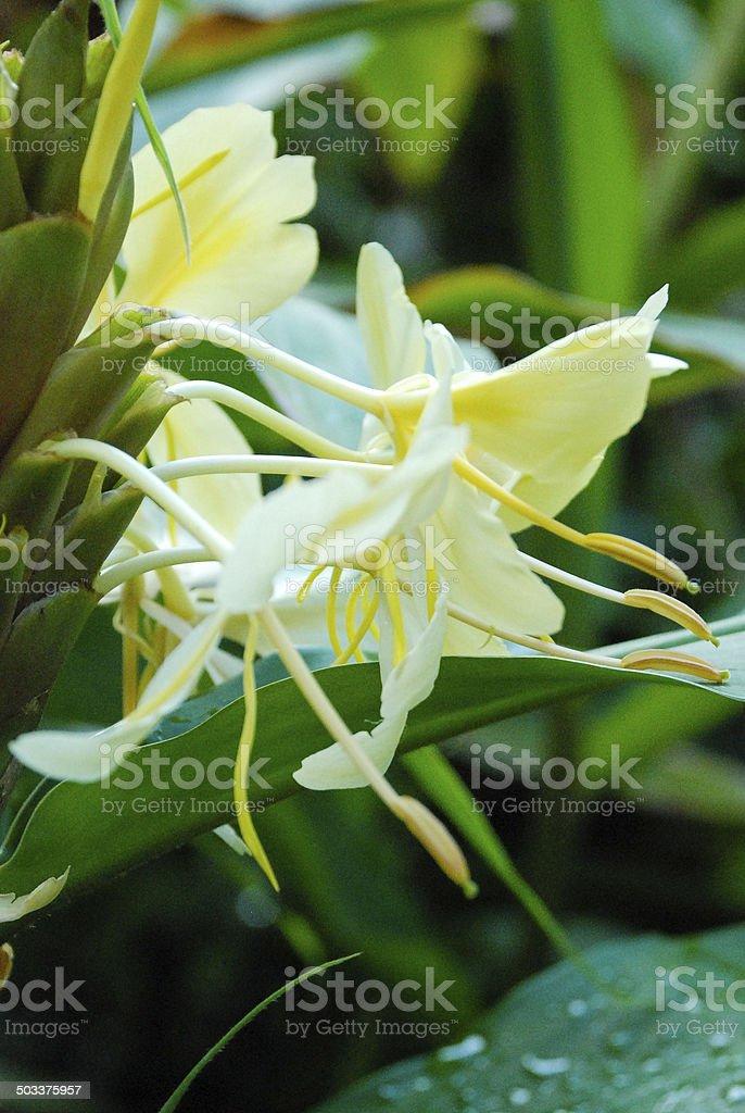 Closeup Tropical Lily Plant Blossoms Goma Republic of Congo Africa stock photo