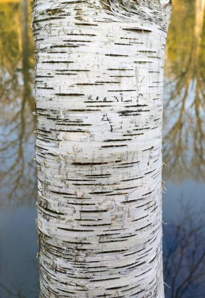 Close-up Trunk of Aspen, Populus tremula – Eurasian aspen stock photo
