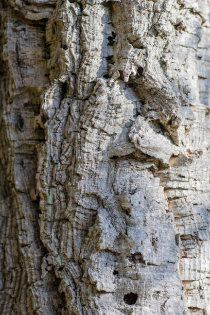 Close-up Trunk of Cork Oak, Quercus suber stock photo