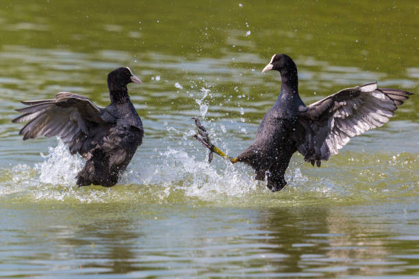 close-up two black coot birds (fulica atra) fighting in water close-up two black coot birds (fulica atra) fighting in green water coot stock pictures, royalty-free photos & images
