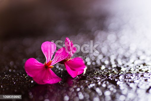 istock Closeup two crimson flowers on dark wet surface with many drops in backlit. 1098059992